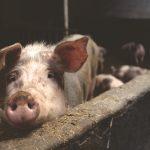 sick pig in a pigpen